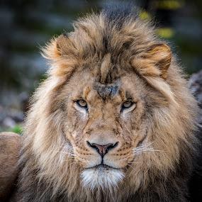 Lion by John Sinclair - Animals Lions, Tigers & Big Cats ( lion, nature, wildlife )