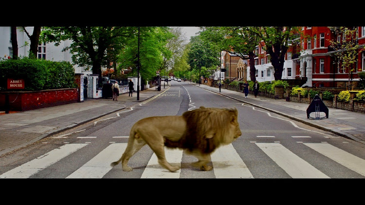 Mojo the lion crosses Abbey Road during the live-streaming broadcast. Mojo was working in the studio in SA when this was filmed.