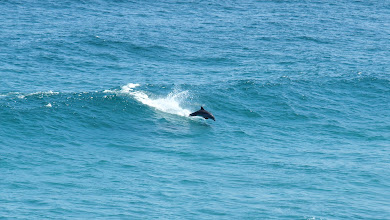 Photo: Dolphin surfing - Seal Rocks