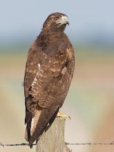 Photo: Red-tailed Hawk @ Attwater Prairie Chicken National Wildlife Refuge