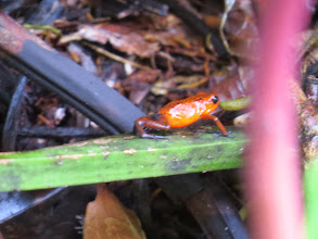 Photo: One of many colorful and poisonous dart frogs