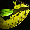 Leaf Insect, Phyllium - Male