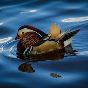 Mandarin duck by Mihai Nita - Animals Birds ( bird, water, reflection, bucharest, park, waves, mandarin, duck, romania, cute, herastrau, animal,  )