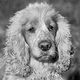Oscar by Chrissie Barrow - Black & White Animals ( curly, monochrome, black and white, cocker spaniel, pet, fur, ears, greys, dog, mono, nose, portrait, eyes, animal )