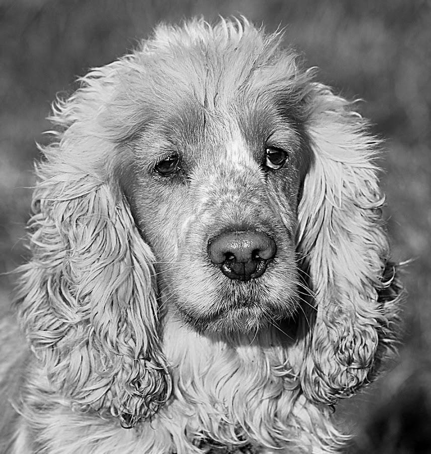Oscar by Chrissie Barrow - Black & White Animals ( curly, monochrome, black and white, cocker spaniel, pet, fur, ears, greys, dog, mono, nose, portrait, eyes, animal )