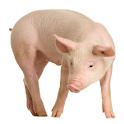 Pig Snort Sound icon