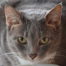 Libby Eyes 2 by Jack Nevitt - Animals - Cats Portraits ( closeup, cat, looking, eating, eyes )