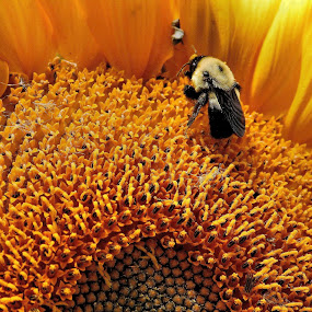 Nectar Gathering ! by Jan Siemucha - Nature Up Close Flowers - 2011-2013 ( pollenolot, bumble bee, bee, sunflower, yellow, cattail fuzz, flower )