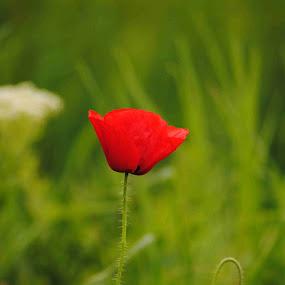 Macul roșu  by Adela Rusu - Flowers Single Flower