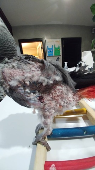 Feather damage and picking in an African Grey from poor seed diet and years in sanctuaries/rescues.