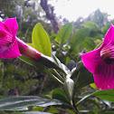 Symbolanthus