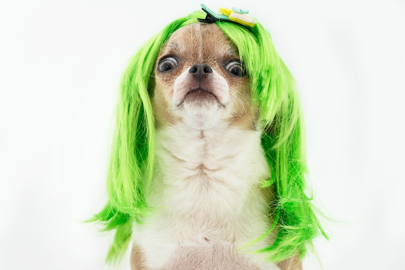 a chihuahua looking shocked with a bright green wig on its head