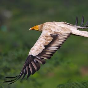 Flight  by Sharad Agrawal - Animals Birds ( bird, rajasthan, india, birds, bif )