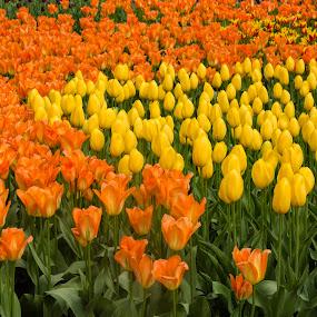 Sunset Flower by Stacey Bates - Flowers Flower Gardens ( orange, tulip, yellow, flowers, garden,  )