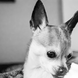 by Michael Thorndike - Animals - Dogs Portraits ( chihuahua, amateur, black and white, dog, photography, dog portrait )
