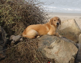 Photo: A golden retriever puppy laying on the rocks at Ricon Beach.