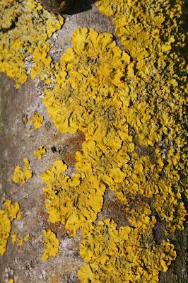 Licheni gialli di riccio