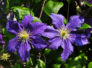 Photo: Clematis 'Wisley' Evipo 001 closeup