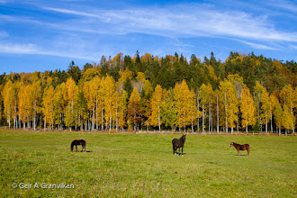 Photo: Horses in the autumn colored surroundings at Øvre Gjerdal farm