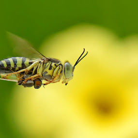 gendong by Balox Berhati Nyaman - Animals Insects & Spiders ( macro, fly, yellow, insect, natural,  )