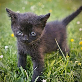*** by Katka Kozáková - Animals - Cats Kittens ( kitten, black cat )