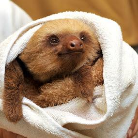 Warm Sloth by Josh Norem - Animals Other Mammals ( sloths, sloth, costa rica )