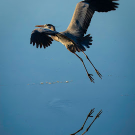 by Dana Johnson - Animals Birds ( waterfowl, great blue heron, reflection, bird in flight, animals, birds, heron, water )