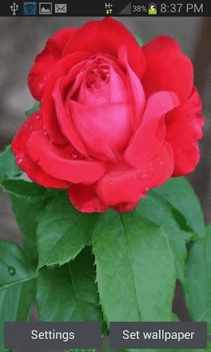 Flowering Red Rose LWP