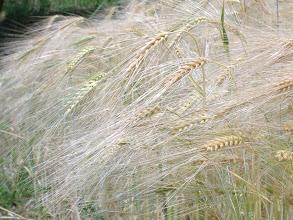 Photo: il nostro grano è maturo