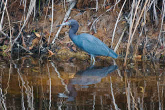 Photo: Little blue heron; Bailey's tract
