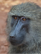 Photo: Baboon in the road - en route to Kamwenge