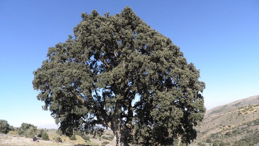 La encina milenaria es conocida como \'La Peana\' por la anchura de la base de su tronco.