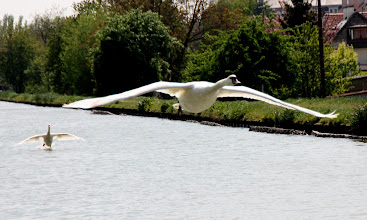Photo: Day 27 - Swan Airborne