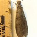 Dobson fly (female)