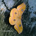 Javan Moth