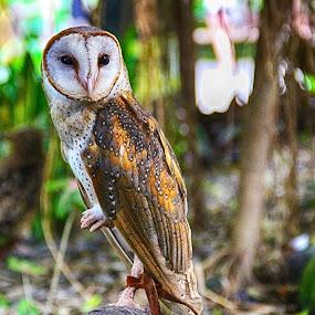 Eye of wisdom! by Stavros Troullinos - Animals Birds ( bird, wings, owl, wisdom, feathers, bokeh, exotic, eye, eyes, animal,  )