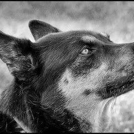 Shepherd by Dave Lipchen - Black & White Animals ( shepherd )