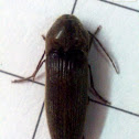 Unidentified Click Beetle