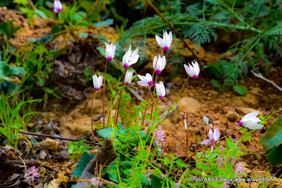 Цикламены. Цветы Израиля. Национальный парк Нахаль Аюн.