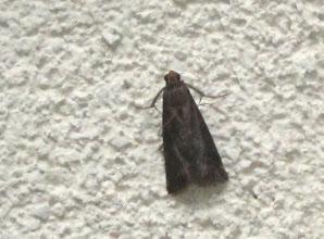 Photo: Anacampsis temerella  Lepidoptera > Gelechiidae