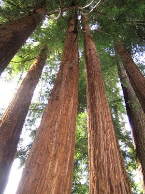 Tall Trees di Laucol