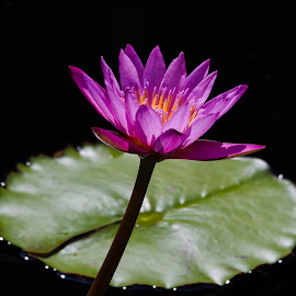 Water Lily by Dave Lipchen - Flowers Single Flower ( water lily )
