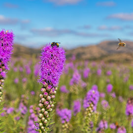 by Kathy Suttles - Flowers Flowers in the Wild ( honeybees, wmwr, purple wildflowers, fall flowers, lawton, oklahoma, suttleimpressions, bees, flying bee,  )