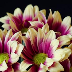 Chrysanthemum 21-07-2017 2 by John Holmes - Flowers Flower Arangements ( colour, black background, macro, red, chrysanthemum, yellow, flowers )