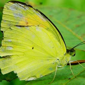 Butterfly by Sudhindu bikash Mandal - Novices Only Macro