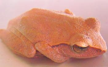 Photo: Bubble-nest frog  (Philautus sp.)
