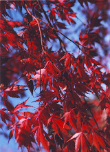 Photo: RED MAPLE