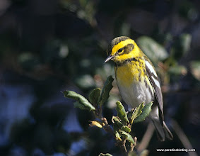 Photo: Townsend's Warblers commonly overwinter at Point Reyes National Seashore, Marin County.