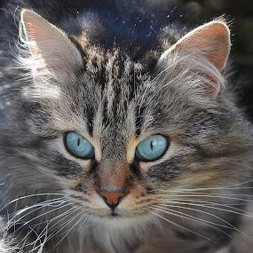 by Ivan Marjanovic - Animals - Cats Portraits