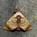Moth - Apatelodes sericea